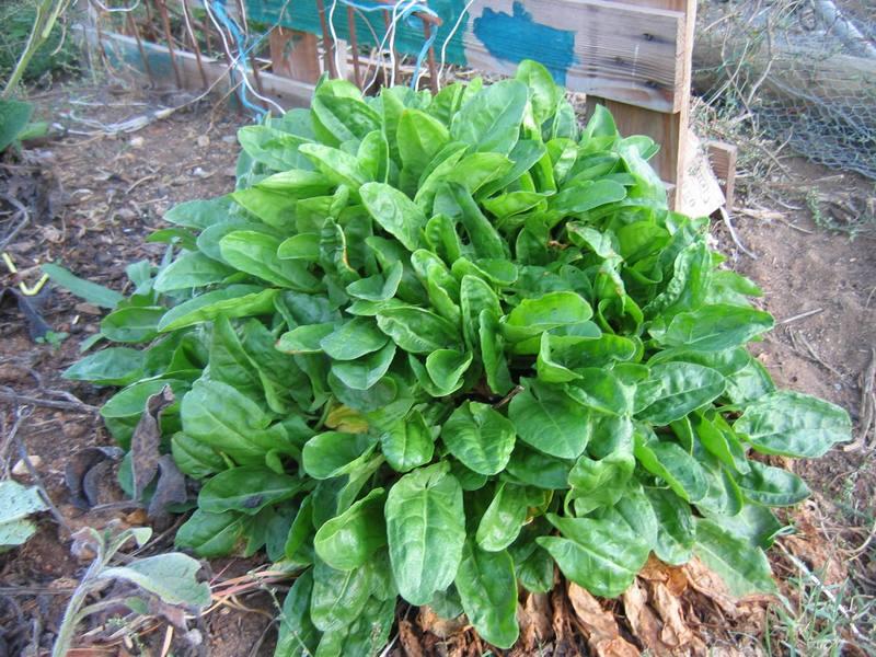 dilly dalley doolittle gardening: Sorrel